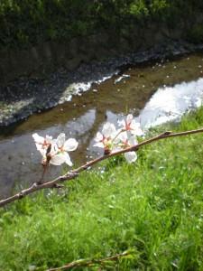 (4月)桜花と川辺