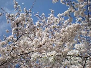 (4月)桜木