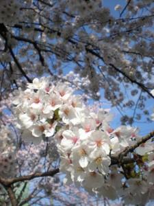 (4月)桜花アップ