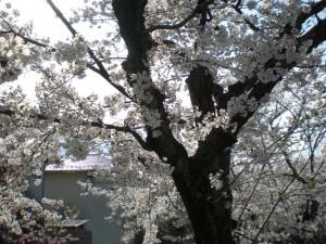 (4月)桜の幹